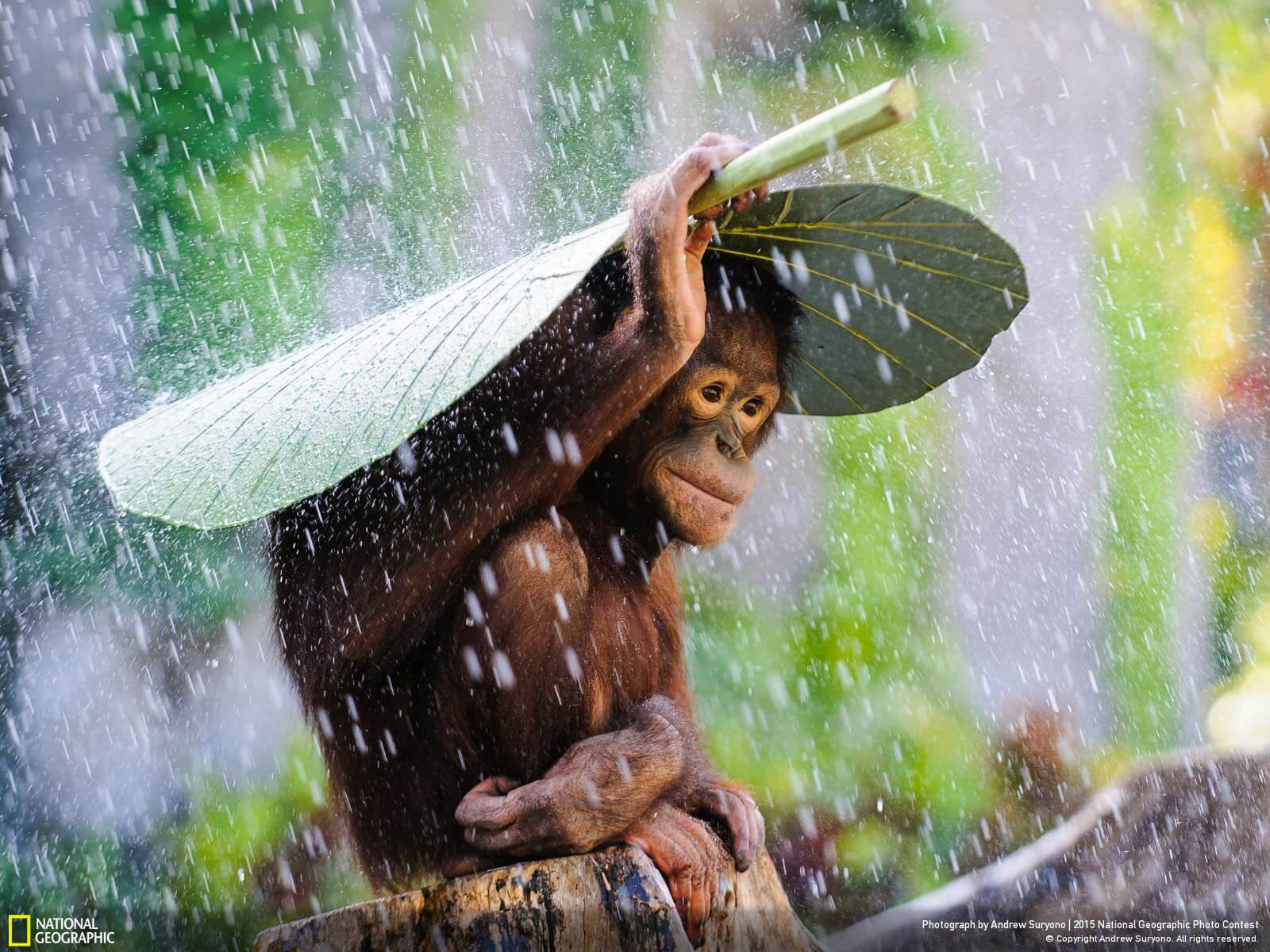 """""""Orangutan in the Rain""""   """"I was taking photos of orangutans in Bali, Indonesia, when it started to rain. Just before I put my camera away, I saw this orangutan take a taro leaf and put it on top on his head to protect himself from the rain! I immediately used my DSLR and telephoto lens to preserve this spontaneous magic moment.""""   Denpasar, Bali, Indonesia   Andrew Suryono"""