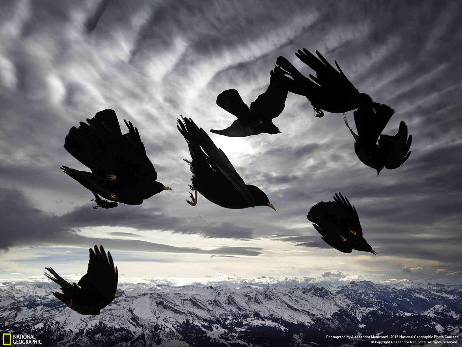 """""""Acrobats of the Air""""   """"A flock of Alpine choughs (Pyrrhocorax graculus), a species of mountain-dwelling bird, performs acrobatic displays in the air. During a windy day, I was able to immortalize their impressive flight skills.""""   Appenzell, Canton d'Appenzell Rhoden-Interieur, Switzerland   Alessandra Meniconzi"""