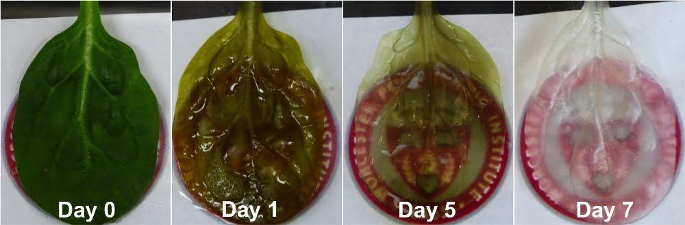 leaf decell timelapse 2